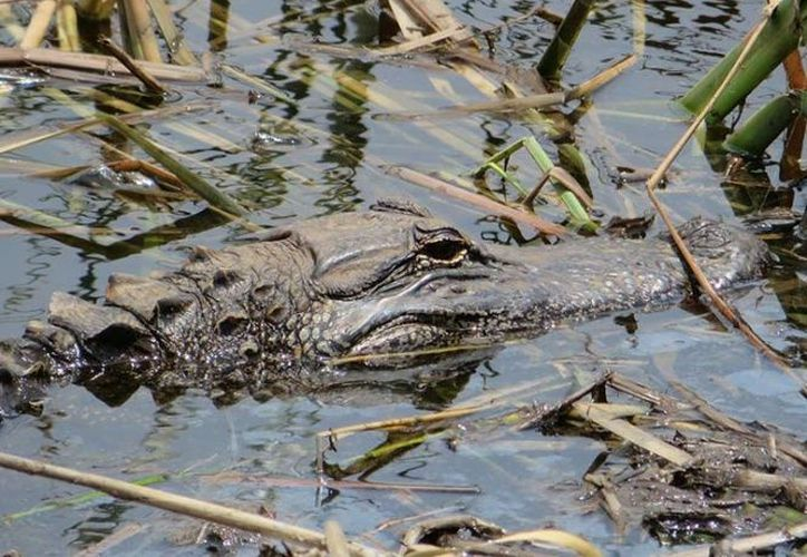 Un niño de ocho años murió tras ser atacado por un caimán aguja cerca del Parque Tayrona. (Excélsior).