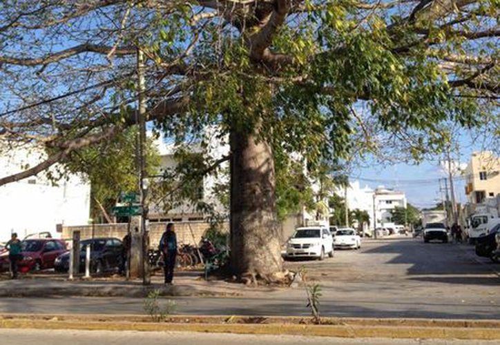 El proyecto pretenden incluir a 22 árboles. (Adrián Barreto/SIPSE)