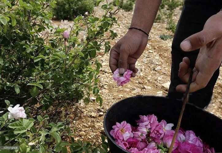 Las tierras cultivadas se han reducido a menos de la mitad y la tradición de la recolecta se está perdiendo. (Louai Beshara/AFP)