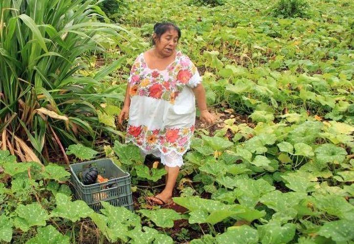 En Yucatán muchos de los beneficiarios de programas sociales del gobierno federal viven en el campo. (SIPSE/Archivo)