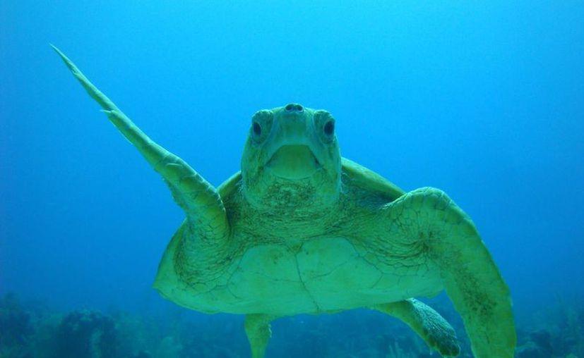 La caza de caracol deja a las tortugas carey y caguama sin alimento. (Redacción/SIPSE)