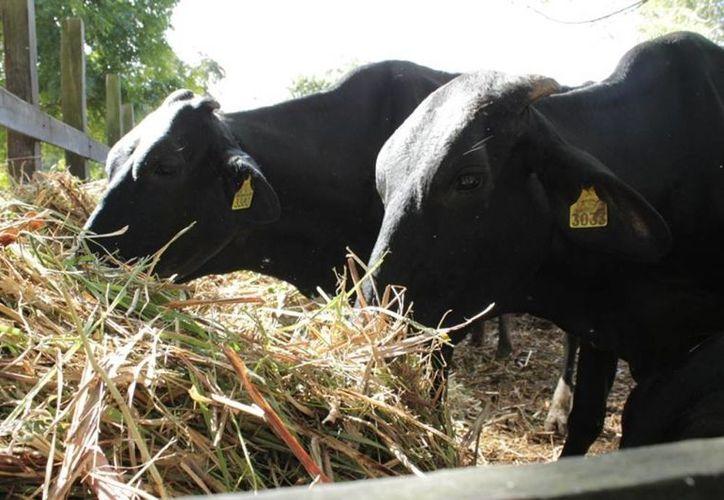 Los apoyos al sector ganadero servirán principalmente para los programas de repoblamiento ganadero y para el sistema producto leche. (Edgardo Rodríguez/SIPSE)