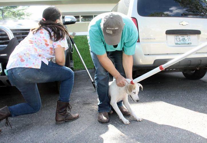 Los estudiantes de diferentes facultades de la Uady se unieron para realizar una campaña de esterilización para los perros que viven en los alrededores de los planteles. Imagen de uno de los canes que será esterilizado. (Jorge Acosta/SIPSE)