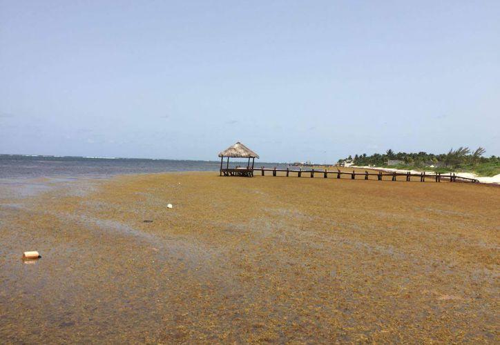 Las costas del estado sufren afectación ante el arribo del alga marina. (Enrique Mena/SIPSE)