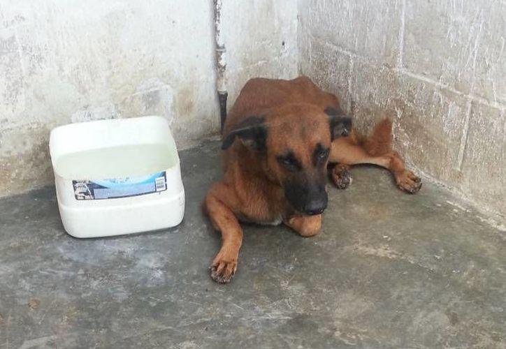 El Centro de Atención Canina  informa que al mes reciben por lo menos 10 denuncias por maltrato animal. (Archivo/SIPSE)
