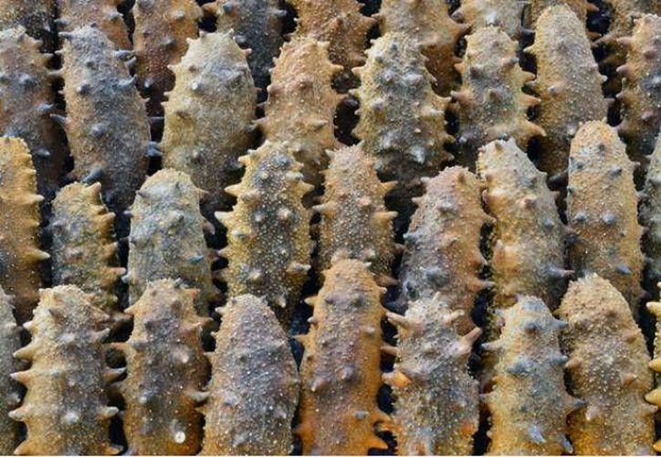 La granja pretendía la explotación de una de la especies de pepino de mar con mayor demanda comercial. (Agencia)
