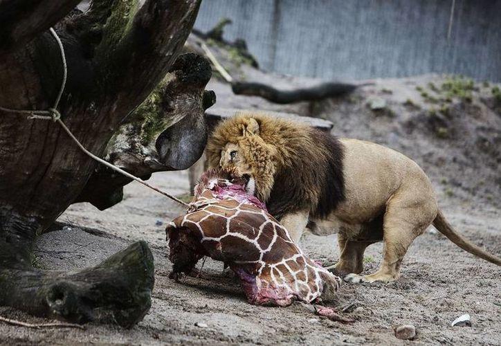 La jirafa Marius sirvió de alimento para los leones. (elheraldo.hn)