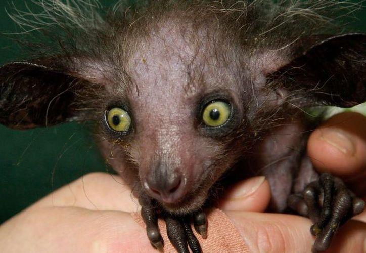 """Nace un lémur """"aye-aye"""" en el """"Duke Lemur Center"""" de Carolina del Norte. (MVS noticias)."""