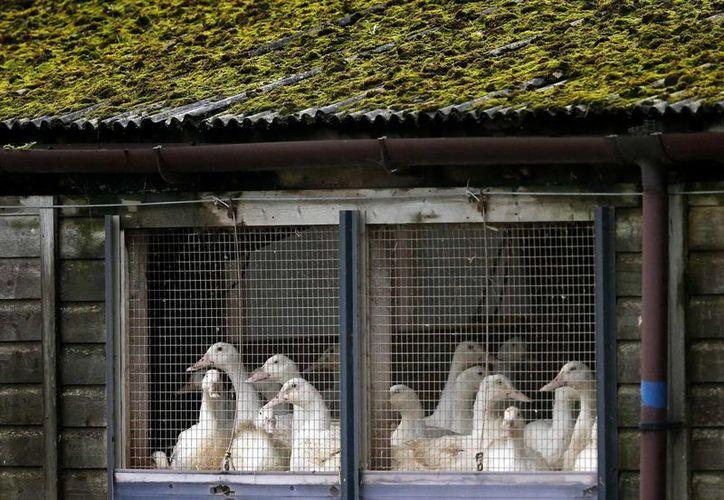 Las autoridades se encuentran revisando las granjas del condado de Whitley (Indiana) para determinar si el virus H5N8 se había diseminado. (nbcnews.com)