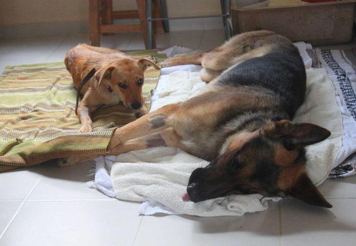 La asociación civil Coco´s Animal Welfare cumplirá este sábado seis años de rescatar animales callejeros. (Daniel Pacheco/SIPSE)