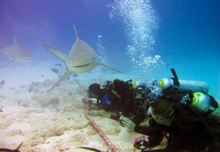 Nadar junto a una de las especies más peligrosas del mundo marino se ha vuelto un atractivo turístico, al que recurren cada vez más visitantes en Playa del Carmen. (Cortesía Ramón Magaña)