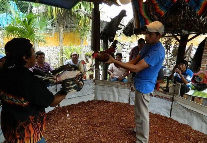 """Imagen de una pelea de exhibición, después del proceso donde se valoran y preparan a las aves o gallos finos, de buena línea, también clasificados como """"de pico y espuela"""", en junio de 2012. (Archivo SIPSE)"""