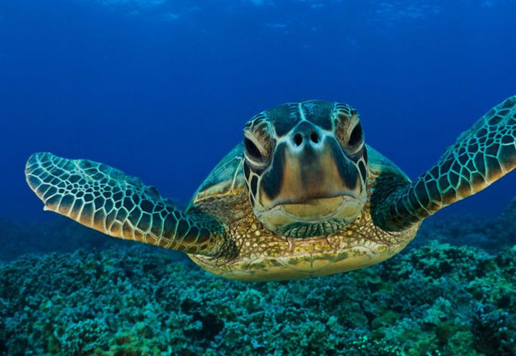 Con el proyecto buscan regularizar a los prestadores del servicio de nado con tortugas. (Foto: Contexto)