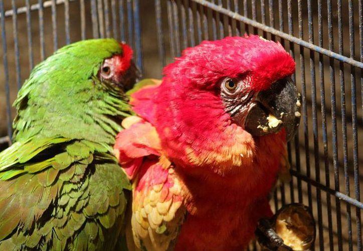 De acuerdo con Profepa, hay una red del crimen organizado que trafica con aves en peligro de extinción. La imagen está utilizada con fines ilustrativos. (Archivo/NTX)