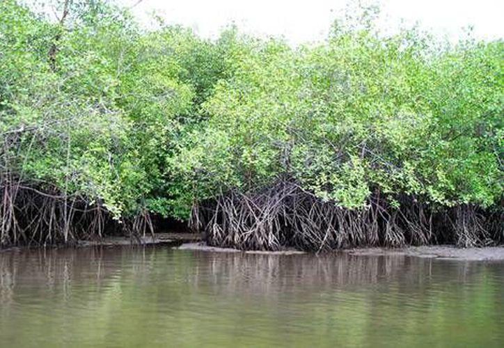 Los manglares fungen como barrera natural evitando que los huracanes entren y dañen nuestro entorno. (Contexto/Internet)