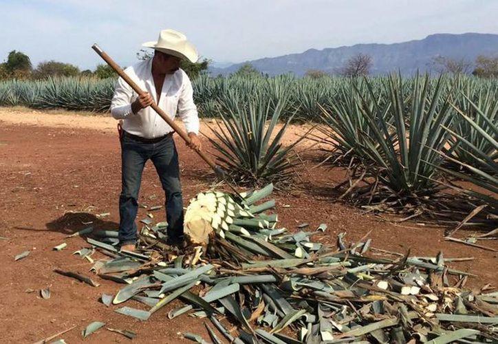 El jimador es el responsable de la primera etapa de producción del tequila. (Notimex)