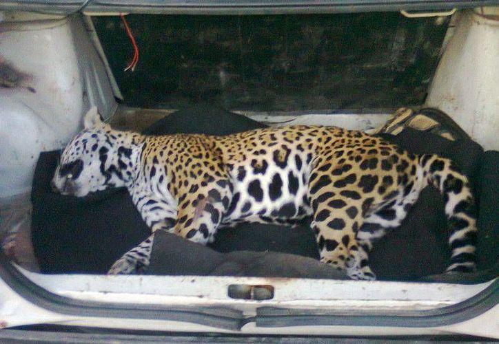 Un jaguar más murió la madrugada del lunes, fue atropellado por un automóvil a exceso de velocidad. (Cortesía/SIPSE)