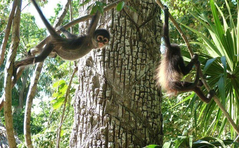 Investigarán Hábitat Del Mono Araña En Puerto Morelos