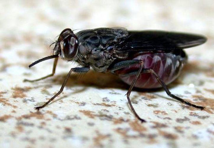 La picadura de la mosca tsetsé en los seres humanos puede provocar la enfermedad del sueño, la cual puede ser mortal. (IRD-CIRAD/ J. Janelle)