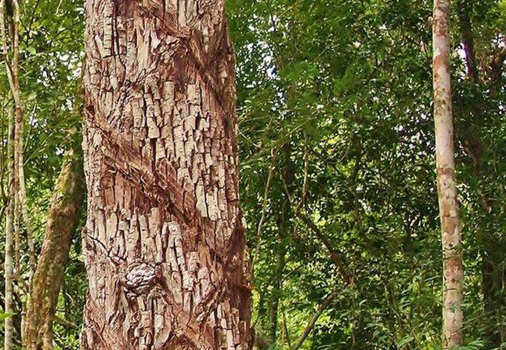 En una hectárea es posible encontrar hasta 25 árboles de chicozapote. (Israel Leal/SIPSE)