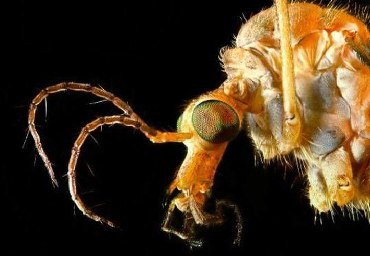 El Aedes Aegypti mide 7 milímetros y suelen picar durante el día, principalmente a primera hora de la mañana. (Foto: BBC)