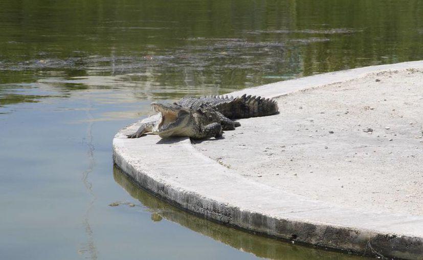 Hace más de 10 años se observaban más de un cocodrilo por kilómetro lineal en la laguna. (Tomás Álvarez/SIPSE)