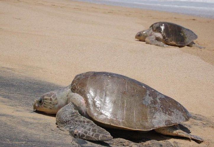 La tortuga Golfina es una de las especies del Golfo de California en peligro de extinción. (panoramio.com)