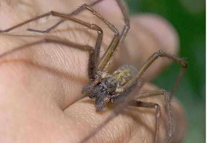 Una mordedura de la araña violinista puede dañar los tejidos de piel. (Contexto/Internet)