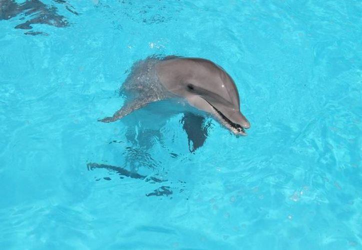 Los delfines se van a ir muriendo conforme pasen los años. (Archivo/SIPSE)