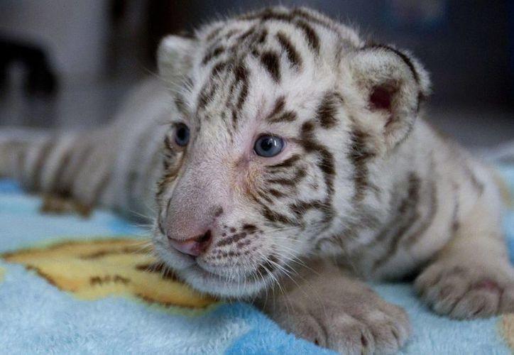 El Zoológico del Centenario dio a conocer el nacimiento de los tigres blancos, dos machos y dos hembras, mientras el Ayuntamiento de Mérida emitió una convocatoria para que las niñas y los niños de tres a 12 años de edad participen en poner nombre a los cuatro felinos. (Notimex)