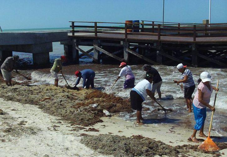 Personal del Ayuntamiento se da prisa a eliminar todas las algas de las playas progreseñas. (Manuel Pool/SIPSE)