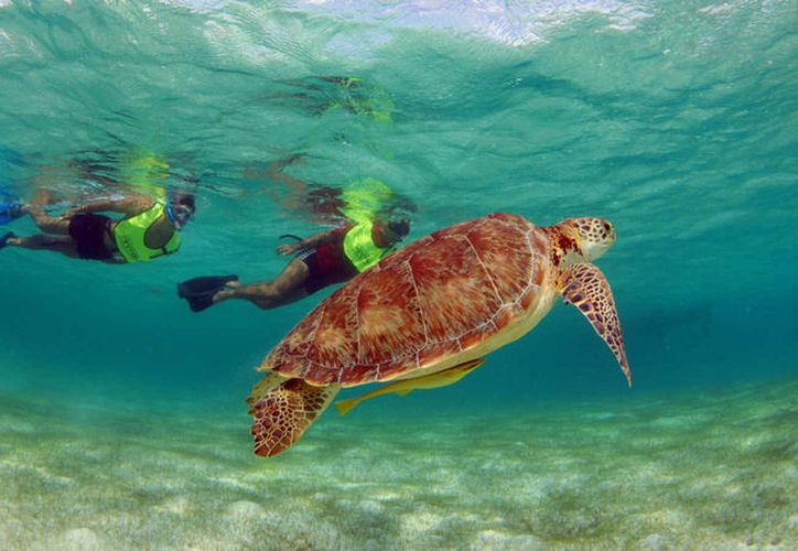 Faltan 14 días para que se reanuden las actividades para el nado con tortugas en Akumal. (Foto: Contexto)