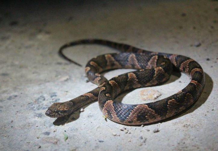 Al año fallecen más de 100 serpientes por impacto vehicular. (Claudia Martín/SIPSE)