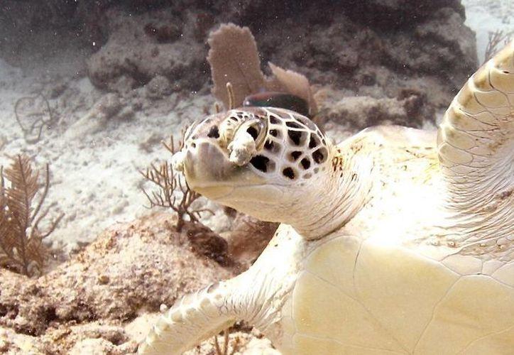 Una de las posibles causas de tumores en las tortugas se debe al estrés por el acoso. (Redacción/SIPSE)