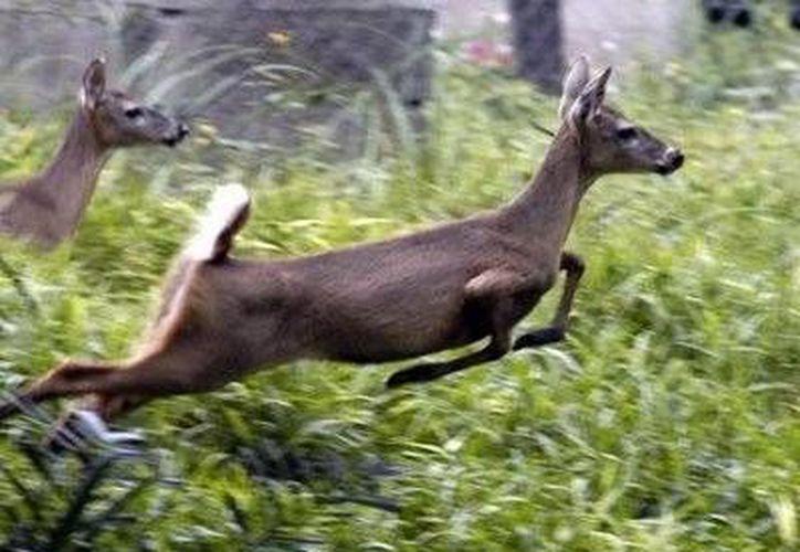Los venados son una especie amenazada por el hombre en Yucatán. (Agencias/Archivo)