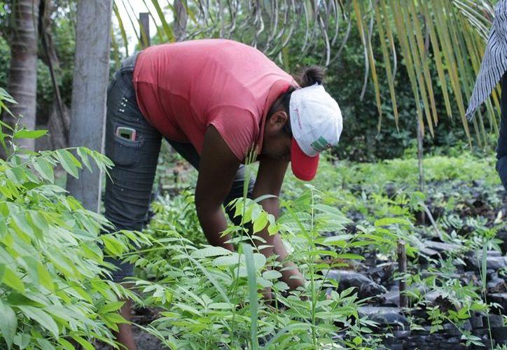 En cuanto al Programa de Protección contra Incendios Forestales, la Conafor en Quintana Roo invirtió 55 millones 508 mil 569 pesos para prevención y combate. (Edgardo Rodríguez/SIPSE)