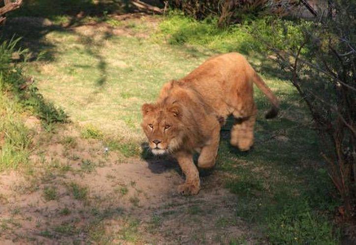 Imagen de uno de los felinos albergados en el santuario. (Foto: Cat Heaven)
