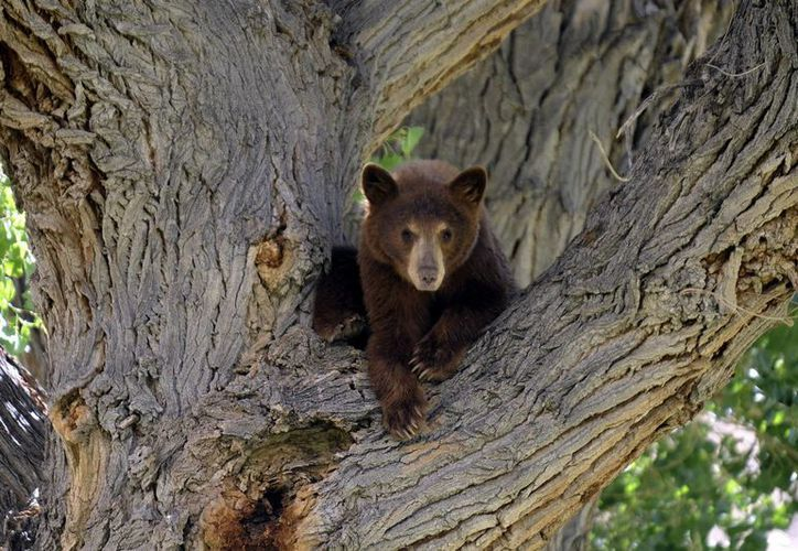En 2015 se autorizó la caza de 320 osos en Florida, de los cuales fueron capturados 295. (EFE/Archivo)
