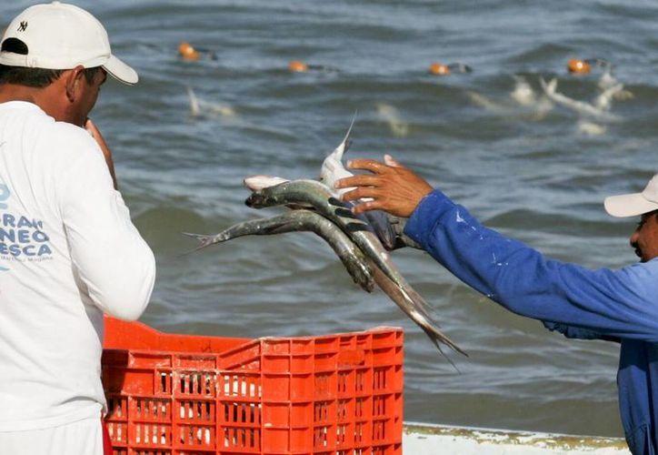 Participarán pescadores de 18 cooperativas de los municipios de Lázaro Cárdenas, Isla Mujeres, Solidaridad, Tulum, Cozumel y Benito Juárez. (Redacción/SIPSE)