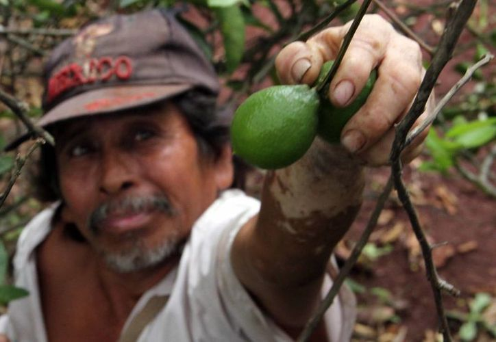 Buenas ventas de limón persa. Imagen de un agricultor recolectando el cítrico. (Milenio Novedades)