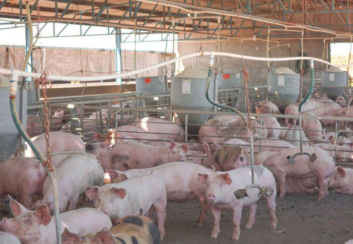 Las granjas porcícolas ubicadas en Yucatán son ejemplo de sustentabilidad  ante la Organización de las Naciones Unidas (ONU). (SIPSE)