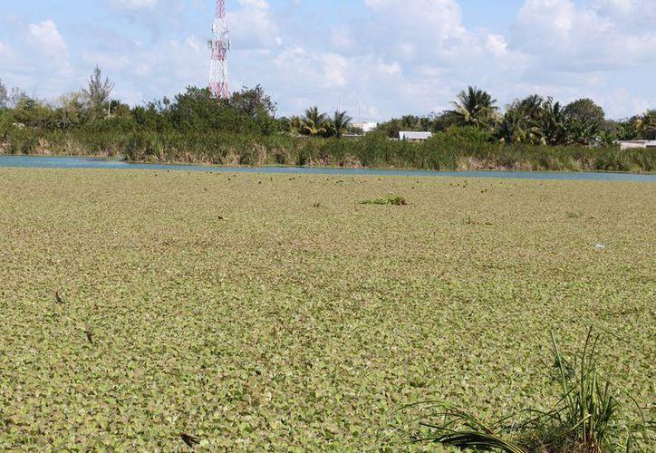 Investigadores recomiendan remover el 'tapete' verde lo más posible, de lo contrario, toda el área será invadida. (Joel Zamora/SIPSE)