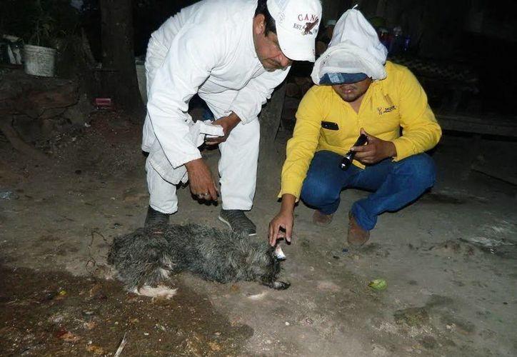 Personal de Protección Civil de Tekax revisan a uno de los perros muertos por el ataque de abejas, en una colonia de Tekax. (SIPSE)