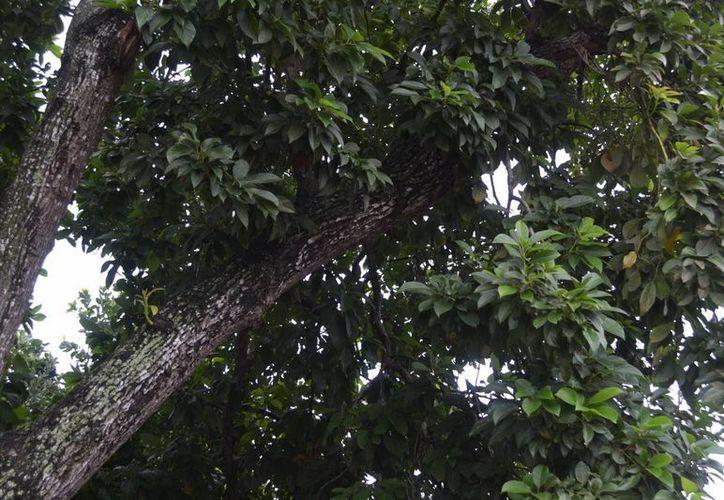 Los bomberos tuvieron que cortar la rama y exterminar el enjambre. (Redacción/SIPSE)