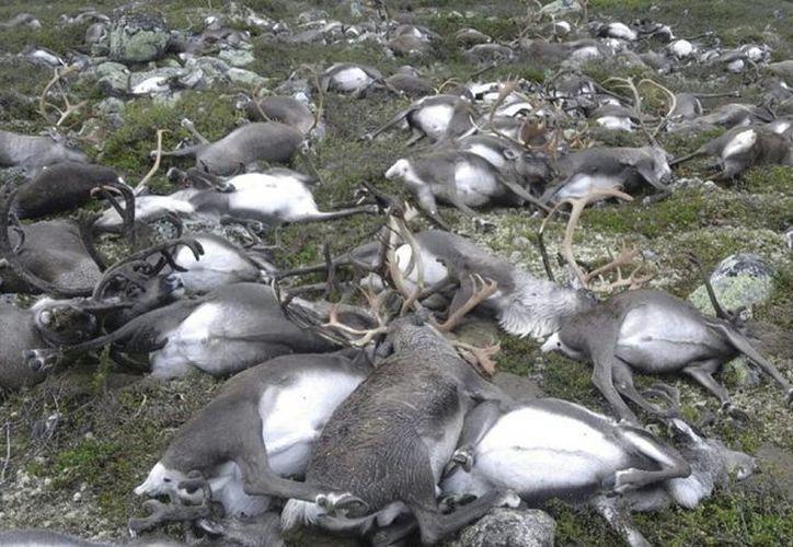 Fotografía facilitada el 29 de agosto de 2016 por el Departamento de Policía noruego dedicado a la naturaleza, que muestra a 320 renos salvajes que murieron tras un rayo en la meseta de la montaña de Hardangervidda, Noruega. (EFE)