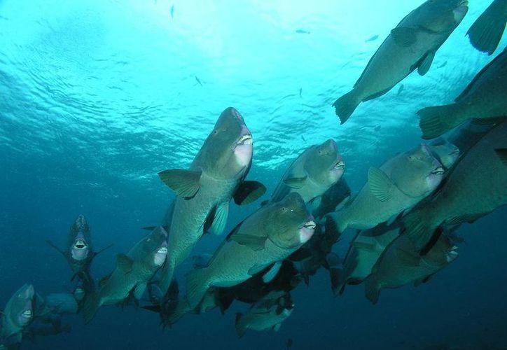 Señalan que el pez loro no es una especie comercial. (Redacción/SIPSE)