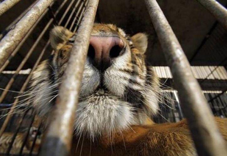 En días pasados, un tigre mató a su domador en el circo Hermanos Suárez. (diariodecaracas.com)