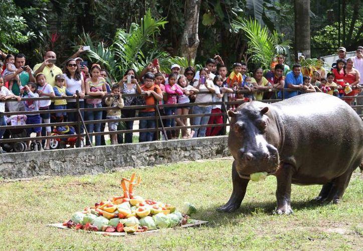 El hipopótamo Andrés iba a cumplir 45 años de vida en diciembre próximo. (Redacción/ SIPSE)