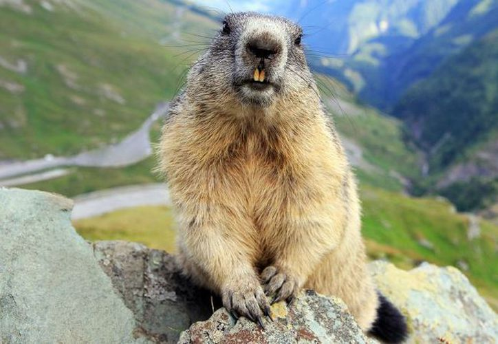 La marmota ha sido famosa por predecir si habrá o no, una primavera temprana y un largo invierno. (Foto: Internet)