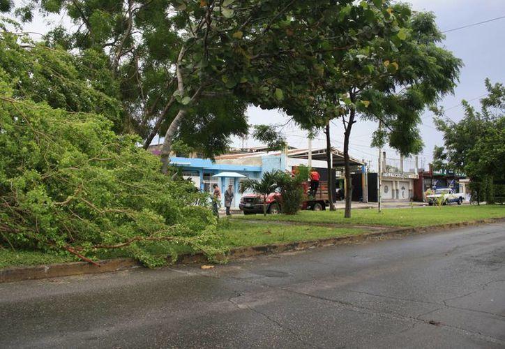 Los vientos registrados derribaron algunos árboles de la capital del estado. (Harold Alcocer/SIPSE)